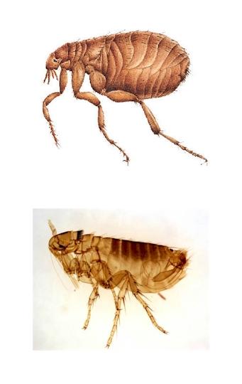 Pest Control, flea, flea Pest Control