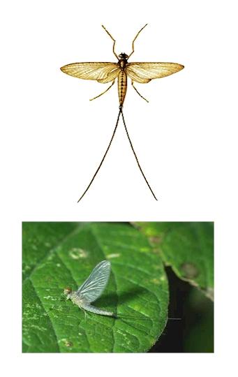 Pest Control, mayfly, mayfly Pest Control