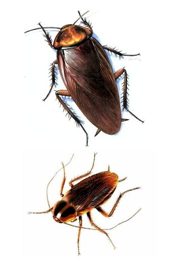 roach, Pest Control, roach Pest Control