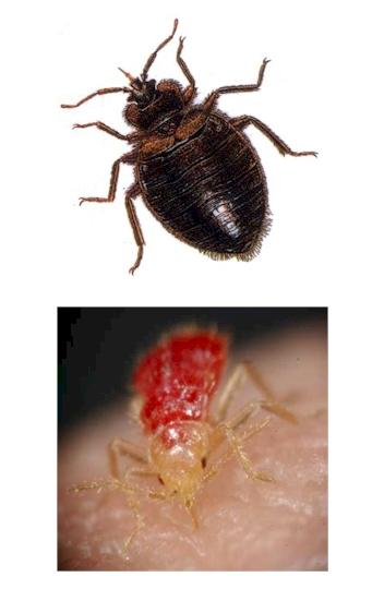 Pest Control, bedbugs, bedbug Pest Control