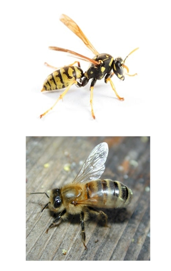 Pest Control, bee, wasp, hornet, bee wasp hornet Pest Control